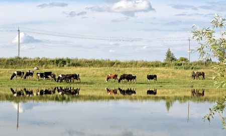 cattle wire: Cows on pasture in the summer on the lake