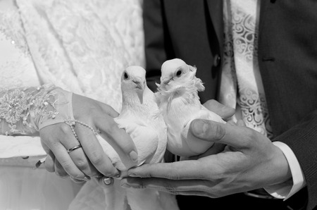 oneness: Two white dove in the hands of the newlyweds - wedding ceremony