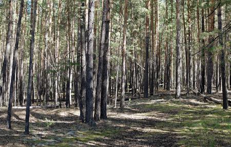 siberian pine: Pine trees illuminated by the sun in the Siberian forest