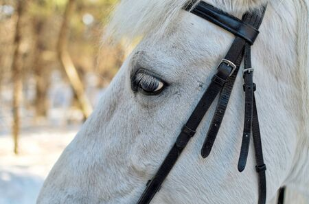 bridle: Portrait of a beautiful white horse closeup with bridle