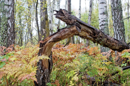 felled: The felled birch, fern in mixed forest in autumn