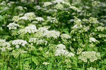caraway: Caraway - a biennial plant of the family Umbelliferae in summer Stock Photo