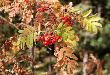 etude: Branch with bunches of red Rowan of autumn Sunny day Stock Photo