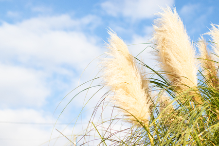 Miscanthus plants in blue sky. Nature background