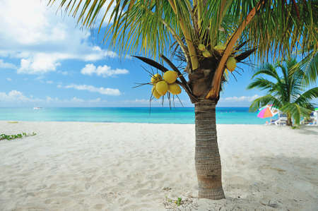 whitw: Coconut palm on beach with whitw sand