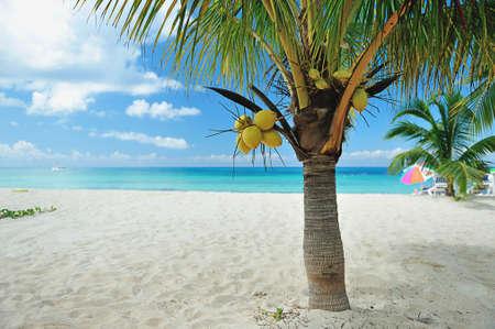 whitw: Coconut palm on beach with whitw sand