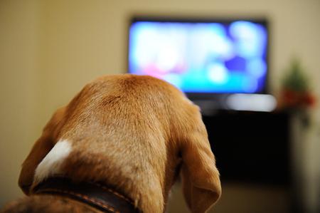 Dog watching TV sitting on sofa in room Standard-Bild