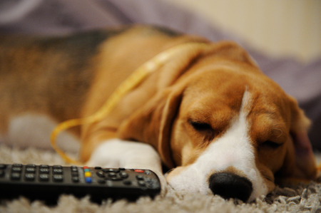 dog sleep with remote control on living room