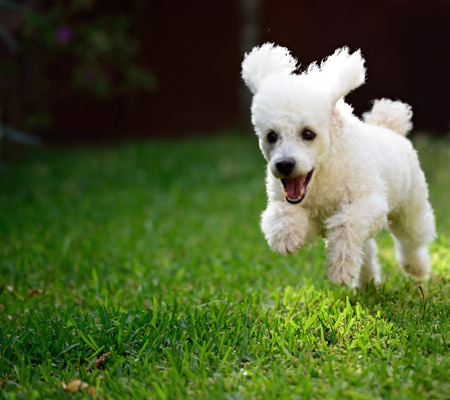 white poodle: dog white poodle run with open mouth on grass