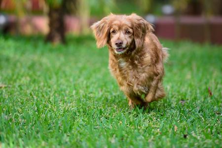 hunting cocker spaniel: dog cocker spaniel run in park green grass Stock Photo
