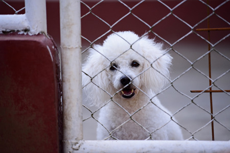 white poodle: White poodle look through metal net gate Stock Photo