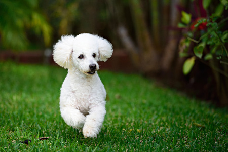 poodle: white poodle run in park field green grass
