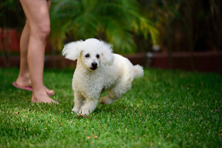 white poodle: white poodle run on green grass from owner