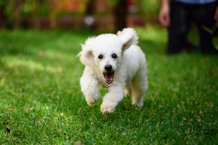 white poodle run on green grass towards Stock Photo