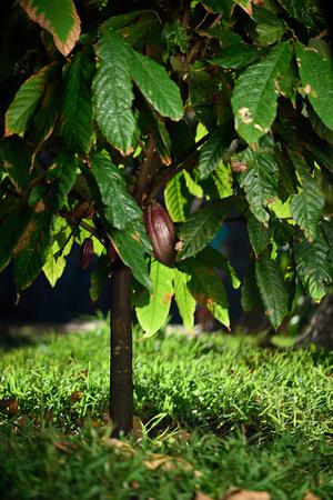 cacao gousses rouges sur arbre vert dans la ferme