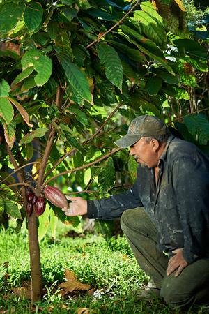 農家の男が木からカカオの実を切りたいです。 写真素材