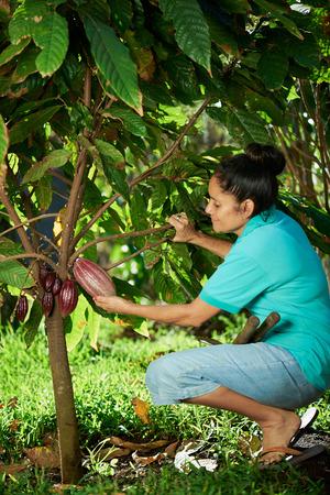 農家の女性が保持するツリーに赤いカカオの実
