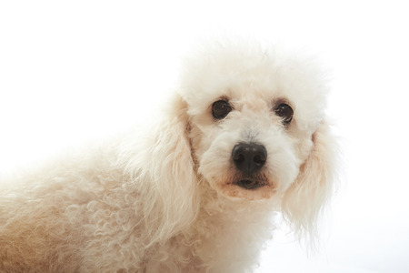 white poodle: portrait of white poodle isolated on background