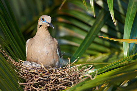 babes: dove in nest with babes on green palm leafs