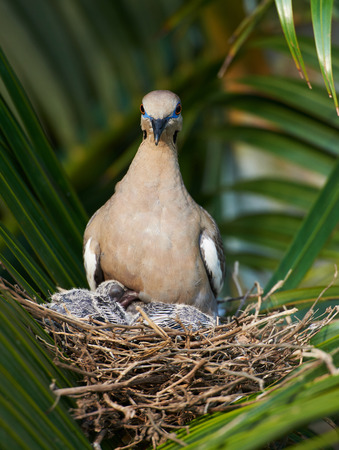 babes: dove nest on palm tree with babes inside Stock Photo