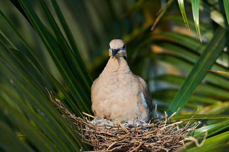 babes: close up of white wing dove in nest with babes Stock Photo