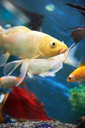 freshwater pearl: colourfull fishes in dark deep blue aquarium Stock Photo