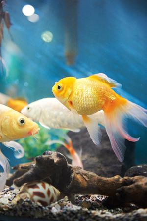 group of fish: small gold fish in dark blue aquarium
