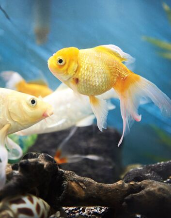 freshwater pearl: gold fish in blue aquarium around reef and stones Stock Photo