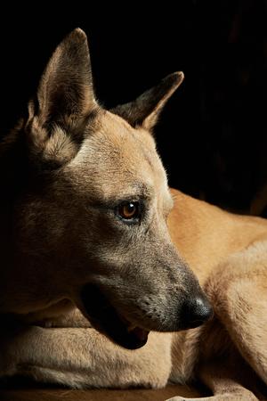 k9: malinoise shepherd portrait from side isolated on black Stock Photo