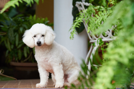pure breed french poodle sit on garden tiles