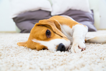 one beagle dog relaxing and sleep on the white carpet Standard-Bild