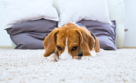 Beagle dog relaxing and playing on the white carpet