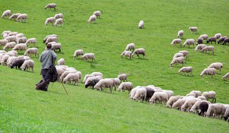 Hirte mit Schaf-Herde auf der grünen Wiese Standard-Bild
