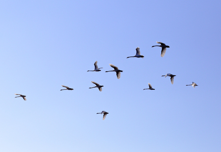 migrate: Geese family flying in blue spring sky, v-formation