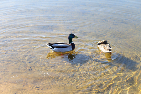 two ducks: two ducks in the water clear lake Stock Photo