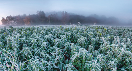 Frozen hemp field in the autumn morning