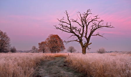 pink sunset: One dry oak tree without leafs in pink sunset background