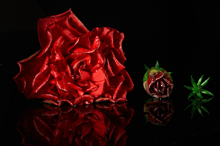 life stages: life stages of red rose from big to small isolated on black