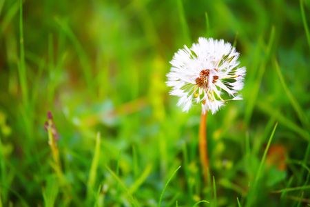one White dandelion in green grass macro close up Stock Photo
