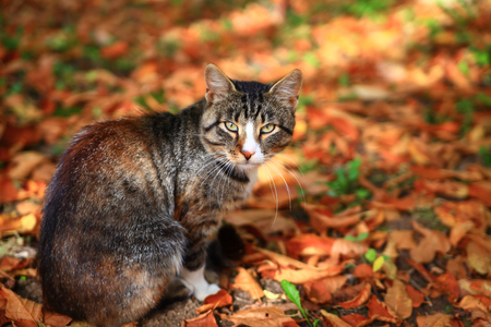 autumn cat: Cat sitting on red autumn leaves in park Stock Photo