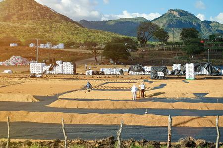 Chicchi di caffè essiccazione su piantagione sulla giornata di sole Archivio Fotografico - 65838362