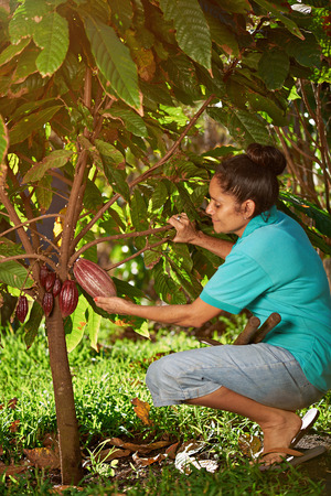 Farmer with big cacao pod in tree america plantation Фото со стока