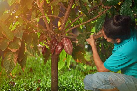 L'agriculteur a coupé la cabosse de cacao rouge sur la plantation de jour de lumière du soleil Banque d'images