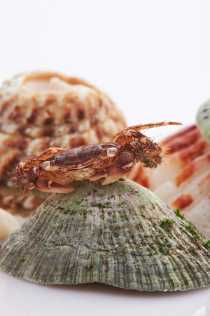 Macro of brown crab  sitting on green shell isolated white