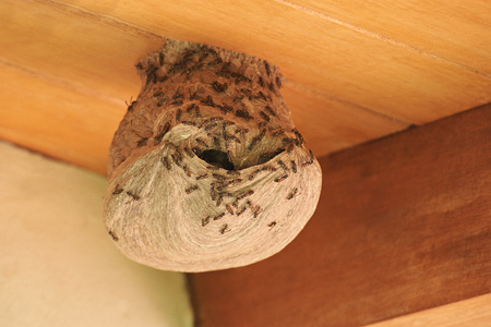 Wasps going in hile in nest on wooden roof house background
