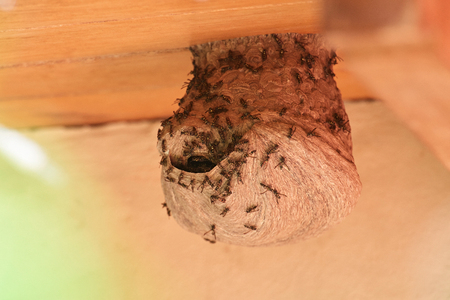 wap: Hole in wap nest with wasp around on house wooden roof
