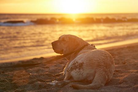 Labrador dog on leash laying sand beach in sunset sun ray lights