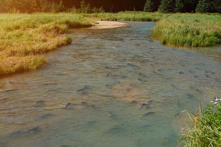 salmon migration: River full of salmon. Group of salmon fish going upstream. Slamon fish spawning