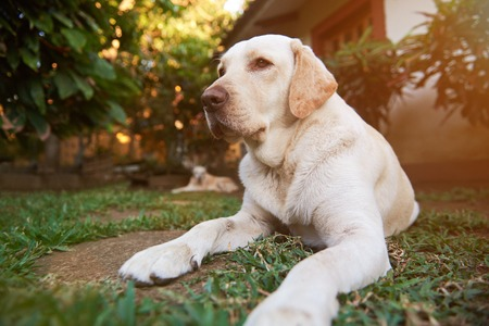 Healthy labrador dog in sunny day lay on green grass. Dogs in garden