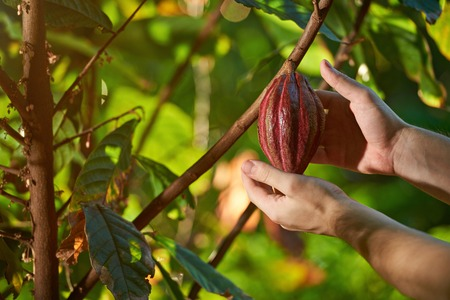 Harvest of cacao pods in natural farm plantation Stock Photo